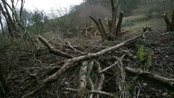 Coppice management at Snows Farm nature reserve along the Dillay Brook, Slad Valley to produce material for Large Woody Debris Dams.
